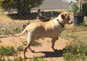 Sam Golden Retreiver Nasal Cancer PetCure Oncology Arizona Veterinary Oncology